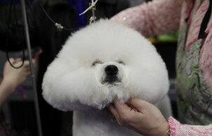 第143届威斯敏斯特犬展在美国纽约举行