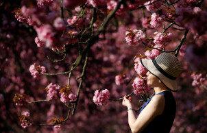 去法国巴黎 Parc de Sceaux公园赏樱花