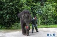 """云南西双版纳:大象""""羊妞""""五岁啦!"""